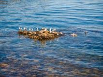 Seagulls przy skalistym brzeg Sidney BC, Kanada Zdjęcie Royalty Free