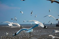 Seagulls ptasi przy dennym Bangpu Samutprakarn Tajlandia Zdjęcia Royalty Free