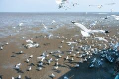 Seagulls ptasi przy dennym Bangpu Samutprakarn Tajlandia Zdjęcie Royalty Free