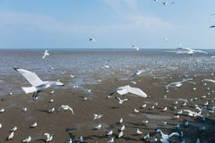 Seagulls ptasi przy dennym Bangpu Samutprakarn Tajlandia Obrazy Royalty Free