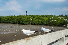 Seagulls ptasi przy dennym Bangpu Samutprakarn Tajlandia fotografia stock