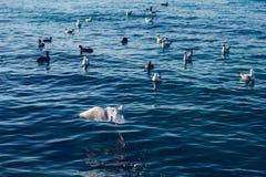 Seagulls ?r p? och ?ver havsvatten arkivfoto