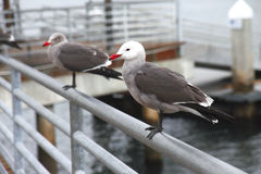 Seagulls on a rail. Seagulls on a rail waiting for a handout from people Royalty Free Stock Image