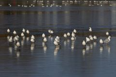 SEAGULLS REFLECTION ON FROZEN LAKE royalty free stock photo
