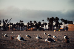Seagulls resting on an evening Beach. In California Stock Images