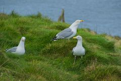 Seagulls resting on the grass. Stock Photography