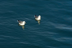 Seagulls are resting at ocean surface after a good lunch Royalty Free Stock Image