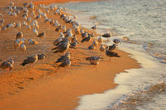 Seagulls resting on seashore Royalty Free Stock Images