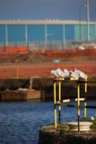 Seagulls Resting on Steel Barrier Stock Photos