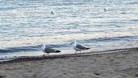 Seagulls. Rivalry between two male gulls on the seashore stock video