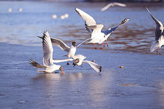 Seagulls at river Royalty Free Stock Images