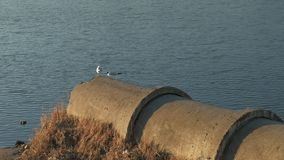 Seagulls by the river. Seagulls sitting on a pipe on the river bank at sunset time stock video