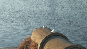 Seagulls by the river. Seagulls sitting on a pipe on the river bank at sunset time stock video footage