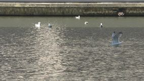 Seagulls on the river Thames. stock video
