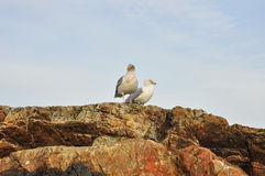 Seagulls on Rock Stock Photos