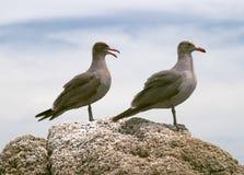 Seagulls on rock Stock Photos