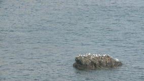 Seagulls on Rock stock video footage