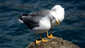 Seagulls on a rock in the sea stock footage