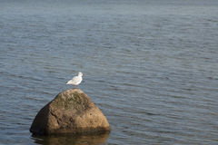 Seagulls rock Royalty Free Stock Photography