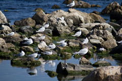 Seagulls on rocks Stock Image