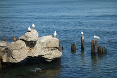 Seagulls on Rocks Stock Photography