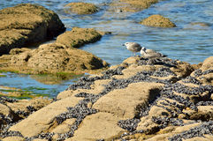 Seagulls on the rocks looking for their food royalty free stock image