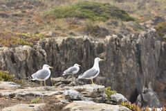 Seagulls on rocks royalty free stock images