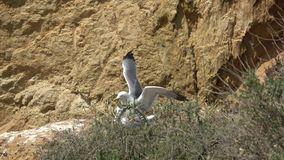 Seagulls on ocean cliff over beach in Portugal stock video footage