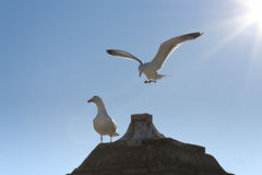 Seagulls on a roof. A flying seagull about to land on a roof Royalty Free Stock Photography