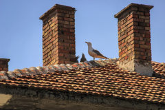 Seagulls on the roof of the family. Seagull and her children sitting on the roof of a clear day Stock Photos