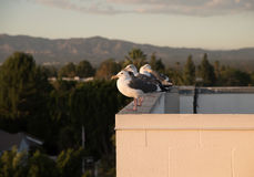 Seagulls on the Roof Stock Images