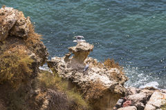 Seagulls on rough coast in Algarve, Portugal royalty free stock photo