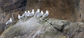 Seagulls in a row on rock. Eight seagulls are sitting in a row on a moss covered boulder Stock Photography