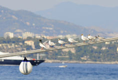 Seagulls On Rpes. Seagulls Perched On Mooring Lines With Monaco Harbor in Background Royalty Free Stock Photo