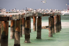 Seagulls with ruins of port Cayo Blanco, Cuba Stock Images
