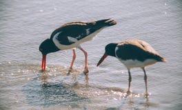 Seagulls są wiszący na plaży out Obrazy Stock