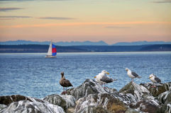 Seagulls and sailboat. Seagulls on rocks as sunset at Point Wilson, Washington State with a sailboat in the backround Stock Photo