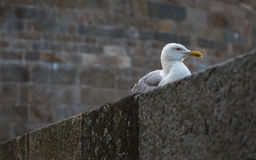 Seagulls Saint Malo Royaltyfri Fotografi