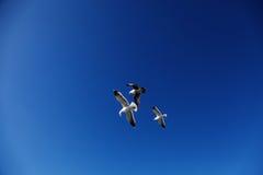 Seagulls of San Francisco Stock Photography
