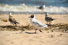 Seagulls on the sand Royalty Free Stock Photo