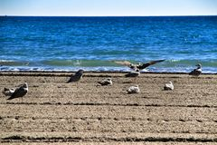 Seagulls on the sand on the beach. In a cloudy day of winter stock images
