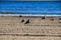 Seagulls on the sand on the beach. In a cloudy day of winter royalty free stock photos