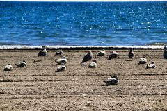 Seagulls on the sand on the beach. In a cloudy day of winter royalty free stock image