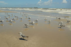 Seagulls on sand of Gulf of Mexico beach Royalty Free Stock Image