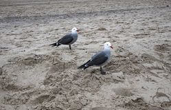 Seagulls on the Sand - Santa Monica Beach - Overcast Day Stock Photography