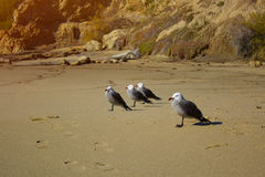 Seagulls on the sand on the shore. four Seagulls on the sand Royalty Free Stock Images