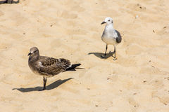 Seagulls on the sands at Rehoboth Beach. Two seagulls, one with brown feathers and one black and white on the sandy beach at Rehoboth, Delaware, United, States Royalty Free Stock Photography