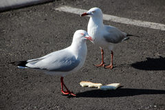 Seagulls with Sandwich Stock Photography