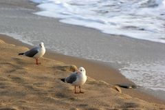 Seagulls on sandy beach at wintertime Royalty Free Stock Photo