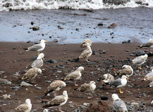 Seagulls. On a sandy shore royalty free stock photos